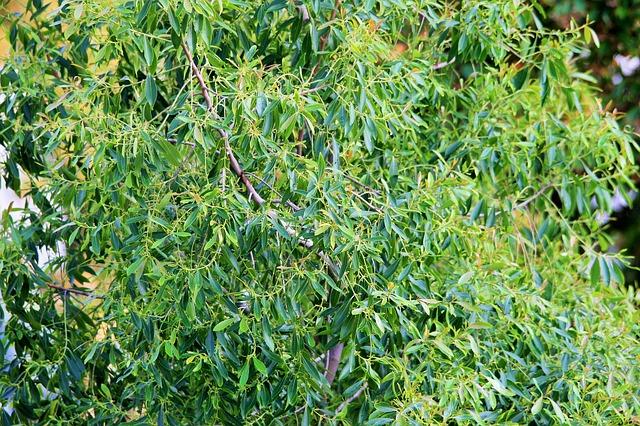 L huile essentielle de tea tree merci aux aborig nes d - L huile essentielle d arbre a the ...