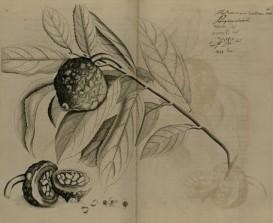 Hydnocarpus